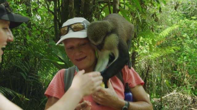 monkey jumping onto shoulder of tourist woman in jungle offering banana / grand etang national park, grenada - embarrassment stock videos & royalty-free footage