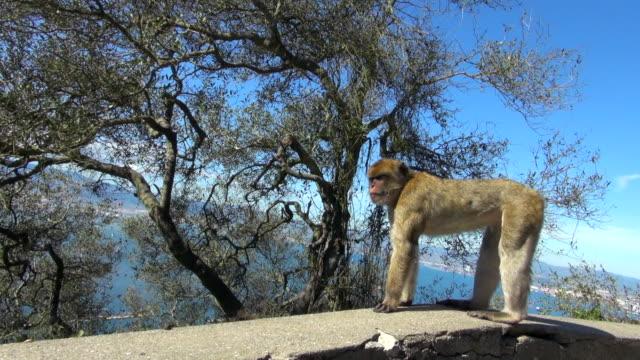 monkey jumps from rocky wall into trees - gibraltar bildbanksvideor och videomaterial från bakom kulisserna