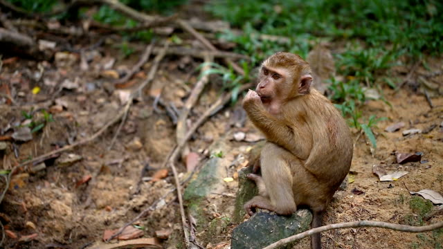 monkey lives in a natural forest of phuket thailand. - macaque stock videos & royalty-free footage
