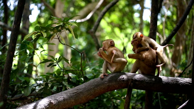 monkey lives in a natural forest of phuket thailand. - animal family stock videos and b-roll footage