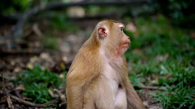 vídeos de stock, filmes e b-roll de macaco vive em uma floresta natural de phuket tailândia. - indonésia