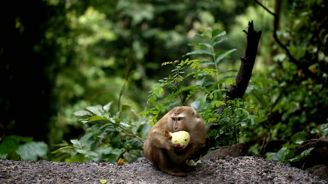 monkey lives in a natural forest of phuket thailand. - monkey stock videos & royalty-free footage