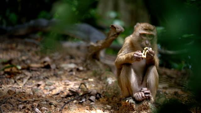 猿は、タイのプーケットの自然の森に住んでいます。 - 猿点の映像素材/bロール