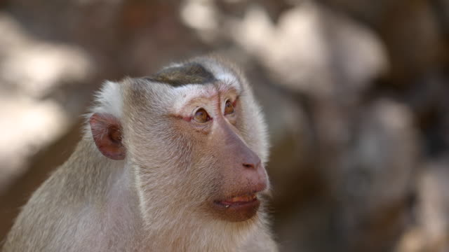 monkey lives in a natural forest of thailand. - macaque stock videos & royalty-free footage