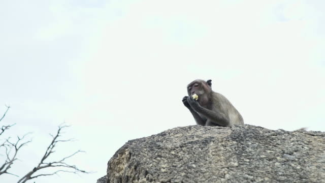 monkey macaque sitting on wood log and eating - cracker stock videos and b-roll footage