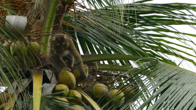 monkey macaque - coconut stock videos & royalty-free footage