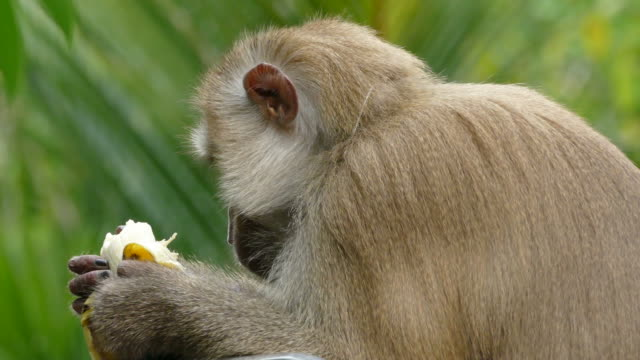 monkey macaque - banana stock videos & royalty-free footage