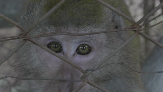 monkey macaque - macaque stock videos and b-roll footage