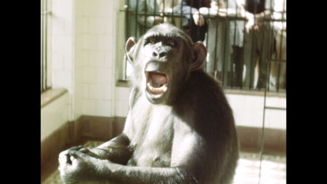 a monkey makes a funny face in a cage. - cage stock videos & royalty-free footage