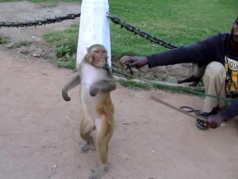 vidéos et rushes de monkey master making monkeys dance in street new delhi india audio - two animals