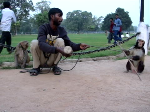 ws monkey master making monkeys dance in street new delhi india audio - one mid adult man only stock videos & royalty-free footage