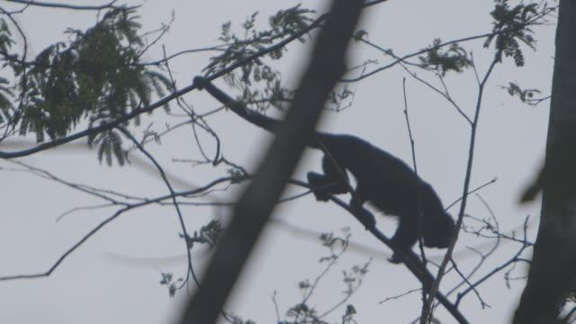 vídeos de stock, filmes e b-roll de monkey moves across trees in panamanian jungle, low angle silhouette - dia