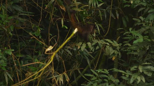 monkey moves through jungle foliage - 2013 stock videos & royalty-free footage