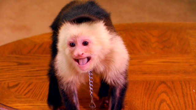 a monkey on a coffee table - coffee table stock videos & royalty-free footage