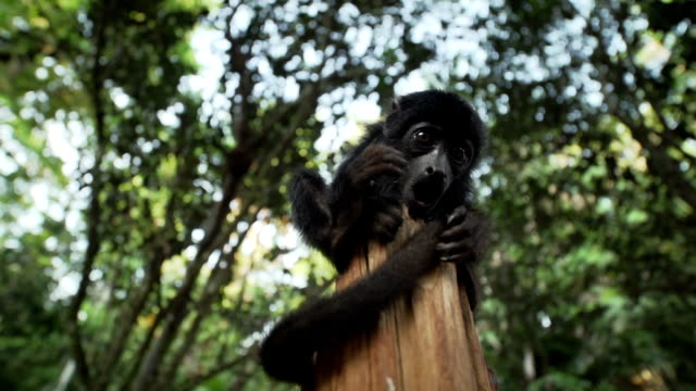 monkey on a trunk - south america stock videos & royalty-free footage