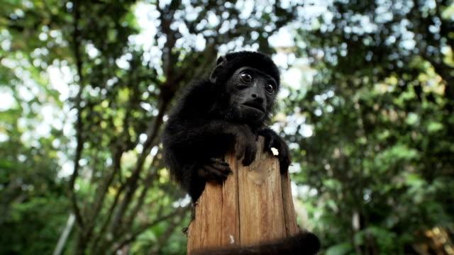 vidéos et rushes de monkey on a trunk - guadeloupe