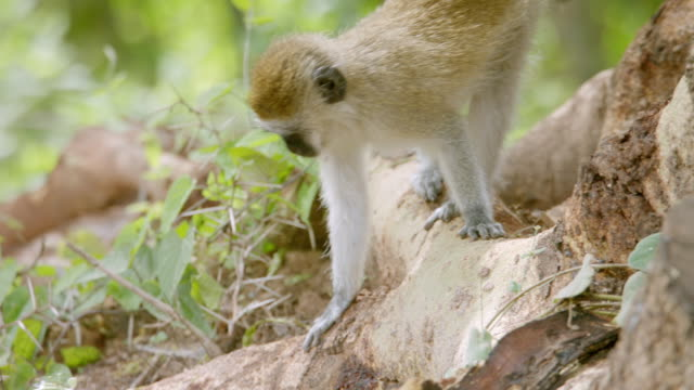 ms ts monkey on branch / kenya - primate stock videos and b-roll footage