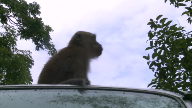 monkey on car - bonnet stock videos & royalty-free footage