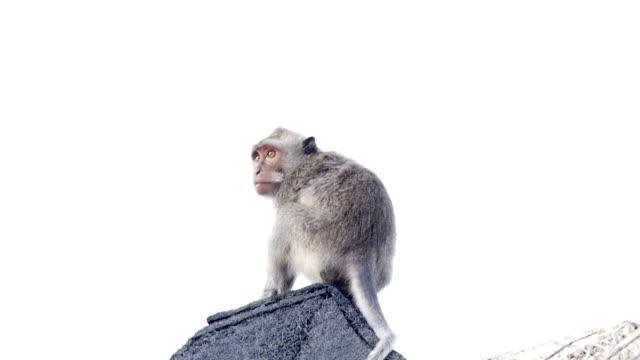 屋根の上に猿 - 一匹点の映像素材/bロール