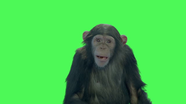 monkey primate ape animal on green screen - chimpanzee stock videos & royalty-free footage