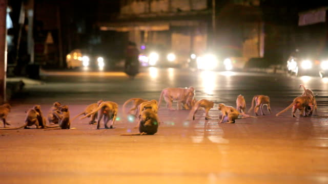 monkey rampage in der dämmerung in der stadt, lopburi, thailand - neuweltaffen und hundsaffen stock-videos und b-roll-filmmaterial