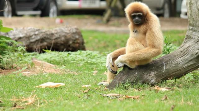 猿リラックスし - 動物園点の映像素材/bロール