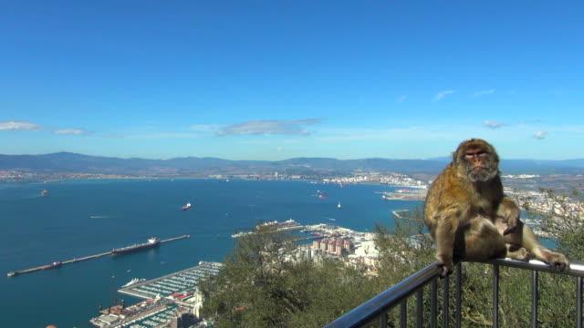 monkey scratching itself on balcony above gibraltar - gibraltar bildbanksvideor och videomaterial från bakom kulisserna