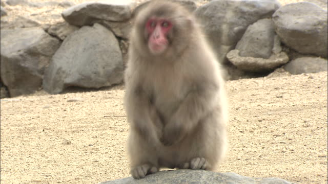 A monkey shivers among sand and rocks in Tonosho-Cho, Japan.