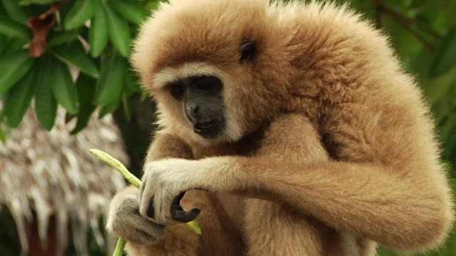 cu zi monkey sitting and eating bean / ko samui, thailand - insel ko samui stock-videos und b-roll-filmmaterial