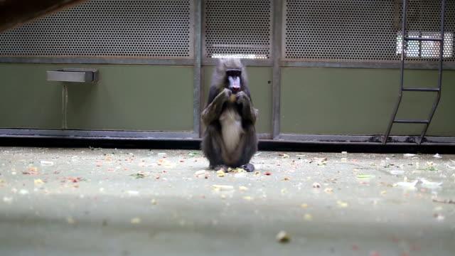 apa som sitter i en djurpark - djurbeteende bildbanksvideor och videomaterial från bakom kulisserna