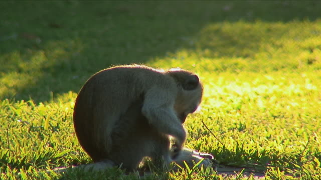 ws monkey sitting on grass / livingstone, zambia - 一匹点の映像素材/bロール