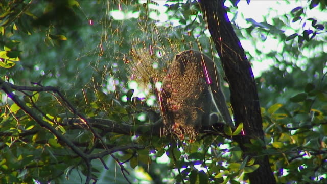 ws monkey sitting on tree next to spiderweb / livingstone, zambia - 隣り合う点の映像素材/bロール