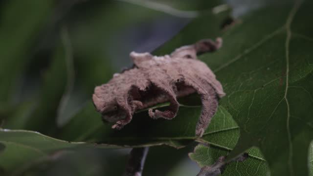 monkey slug caterpillar feeds on leaf - brown stock videos & royalty-free footage