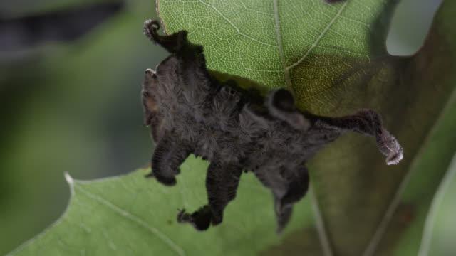 monkey slug caterpillar on leaf - grey colour stock videos & royalty-free footage
