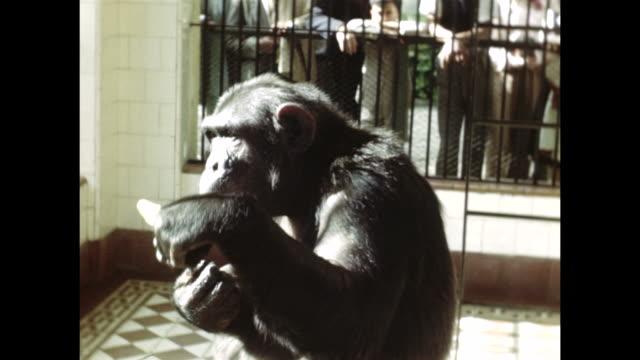 vídeos y material grabado en eventos de stock de a monkey smokes a cigarette and eats a banana. - fumar temas sociales