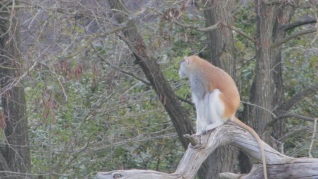 A Monkey Surveys atop a Downed Tree
