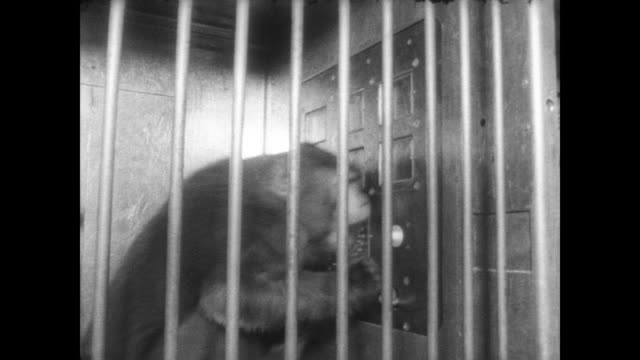 monkey trapped by its neck in clear plastic contraption / man works control panel and monkey responds by waving at a control panel in front of it /... - 檻点の映像素材/bロール