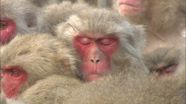 A monkey tries to sleep while it huddles in a group.
