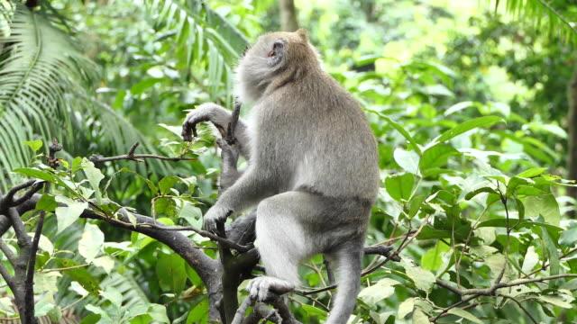 monkey ubud bali. - ubud district stock videos & royalty-free footage