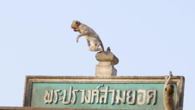 vidéos et rushes de singe - thaïlande