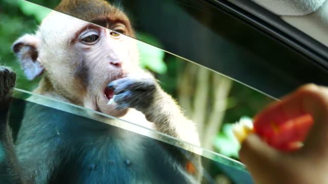 vídeos de stock, filmes e b-roll de comida de espera macaco de pessoas no carro da janela - alimentar