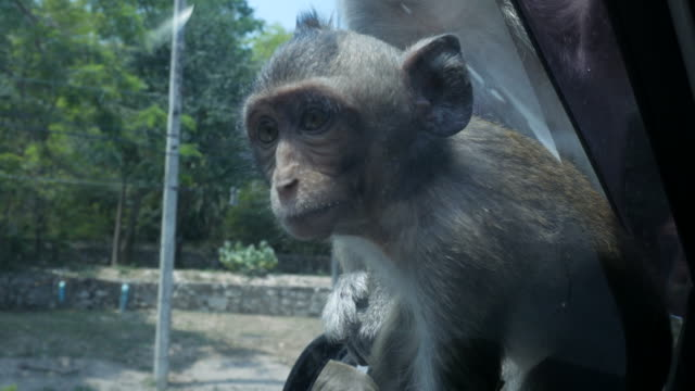 monkey waiting food from people at window's car - surveyor stock videos & royalty-free footage