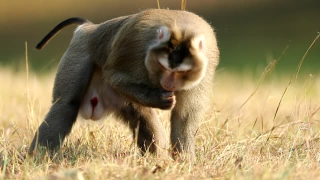 Monkey walking in the grass at Khao yai national park, Monkey Eating Some Food, Slow motion