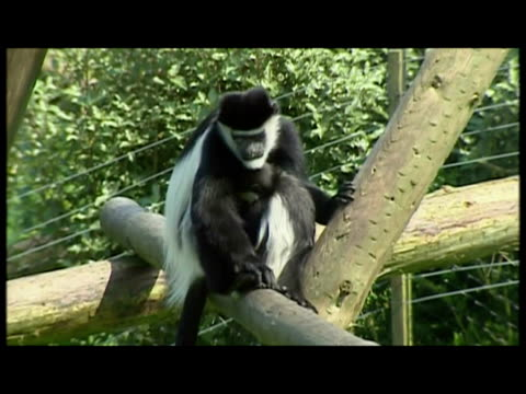 a monkey who escaped from a zoo had now been reunited with his family kevin the colobus monkey went awol from his compound and belfast zoo but he's... - zoo stock videos & royalty-free footage