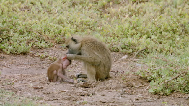 ms monkey with her infant sitting on landscape / kenya - primate stock videos & royalty-free footage