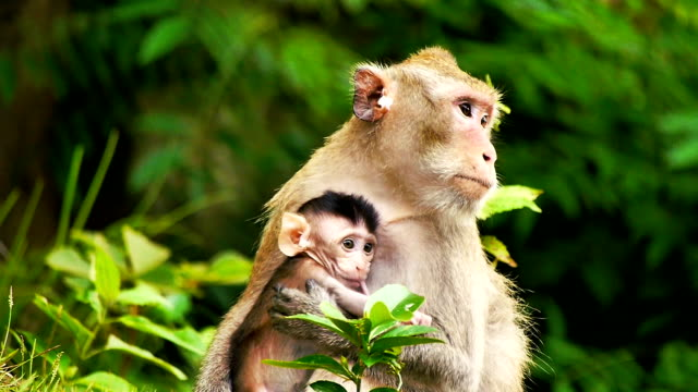 monkey with young baby in an open zoo cnglnat1094 - primate stock videos & royalty-free footage