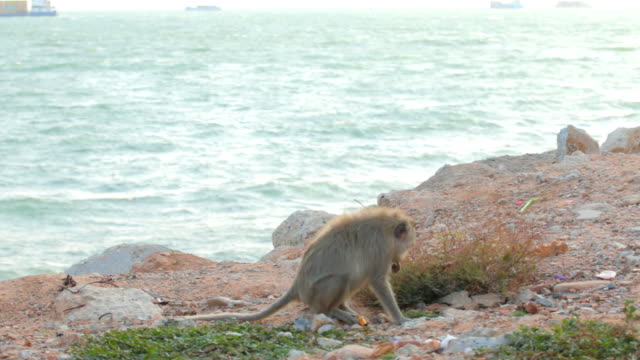 monkey,pattaya beach thailand - pattaya stock videos & royalty-free footage
