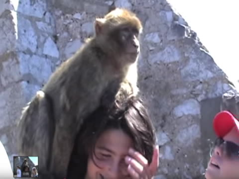 monkeys are cute especially when they climb on you but it's important to remember they have no manners as one tourist found out the hard way when... - kind pinkelt stock-videos und b-roll-filmmaterial