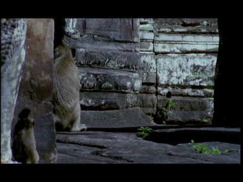 cu, tu, monkeys at angkor wat temple, angkor, cambodia - kleine gruppe von tieren stock-videos und b-roll-filmmaterial