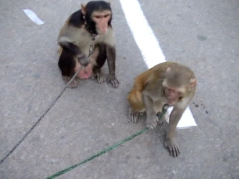 vidéos et rushes de cu monkeys being kept on rope by monkey master new delhi india audio - animaux en captivité